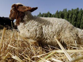 sheep-420ffb7994b1f6fec4372bdabecaa0b490c5930f